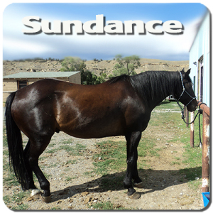 20 yr old Quarter Horse. Old man sundance will take no guff from you, but he will give a nice steady ride.