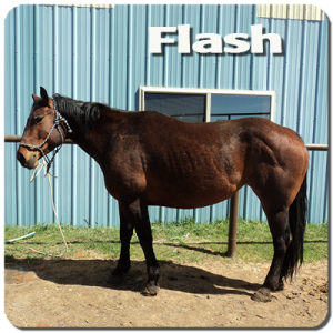 flash is a 5 yr old Quarter horse. built like a tank and likes to take charge...look out cows! she is in the process of training
